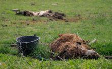 Εικόνες ντροπής: Ζώα δεμένα, λιμοκτονούν και σπαρταρούν ετοιμοθάνατα δίπλα σε κουφάρια