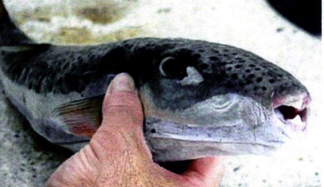 """Το επικίνδυνο ψάρι """"ΛΑΓΟΚΕΦΑΛΟΣ"""""""