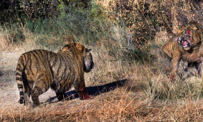 Συγκλονιστικές εικόνες: Τίγρης εναντίον τίγρη, λόγω ερωτικής αντιζηλίας