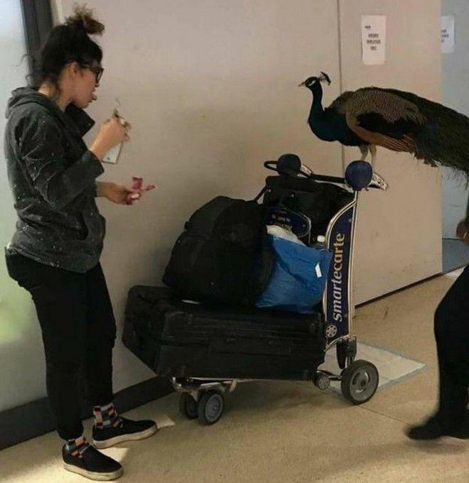 'Εβγαλε εισιτήριο στο παγώνι της για να πετάξει μαζί της στο αεροπλάνο