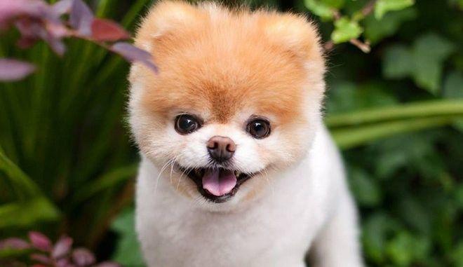 Θλίψη: Πέθανε ο Boo, ο πιο όμορφος σκύλος του κόσμου