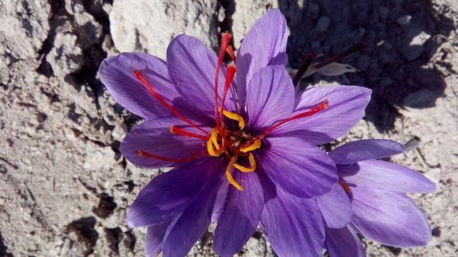 Ξεκίνησε η συγκομιδή του κρόκου στην Κοζάνη - Τα πρώτα λουλούδια στα χωράφια