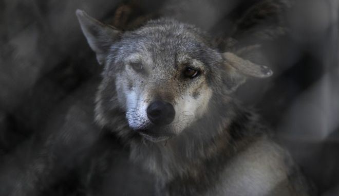 A wolf looks through the bars in the Zoo in Tbilisi, Georgia, Sunday, June 21, 2015. Zoo officials say less than half of the zoo's 600 inhabitants survived last week's flooding. (AP Photo/Tinatin Kiguradze)