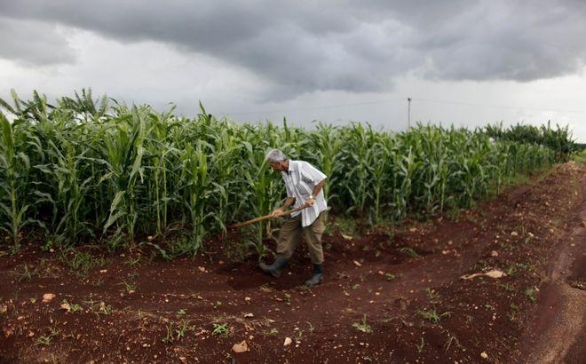 Ένας χωρικός δουλεύει σε χωράφι με ζαχαροκάλαμα, στην Κούβα