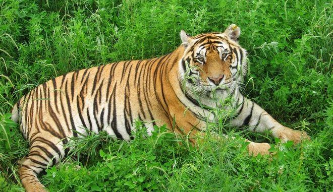 Ελβετία: Φύλακας ζωολογικού κήπου πέθανε όταν της επιτέθηκε μια τίγρη