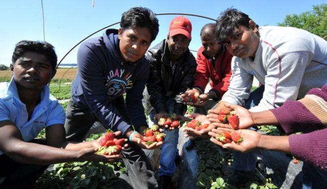 Μετανάστες εργάτες από το Μπανγκλαντές σε φραουλοχώραφο στη Νέα Μανωλάδα Ηλείας.   Οι χώροι στους οποίους διαμένουν οι μετανάστες εργάτες δεν ήταν ούτε για να σταβλίζονται ζώα. Η εικόνα είναι απελπιστική. Στις κατασκευές - θερμοκήπια που καλλιεργούν τις φράουλες οι ίδιες ακριβώς κατασκευές - παράγκες - θερμοκήπια αποτελούν σπίτι για τους μετανάστες εργάτες - έξω από το χωριό στα βάθη των αγρών. Πόσιμο νερό, τουαλέτα, δεν υπάρχει. Η ατομική τους υγιεινή και το μπάνιο γίνεται από σωλήνα γεώτρησης στην ύπαιθρο, με τα νερά να λιμνάζουν σε δεξαμενές ακριβώς δίπλα όπου μένουν. Στην ευρύτερη περιοχή βρίσκονται περισσότεροι από 4.500 μετανάστες που απασχολούνται κυρίως στα φραουλοχώραφα. Μετανάστες από το Μπαγκλαντές, το Πακιστάν, την Αίγυπτο, αλλά και βαλκανικές χώρες.  (EUROKINISSI/ΑΝΤΩΝΗΣ ΝΙΚΟΛΟΠΟΥΛΟΣ)