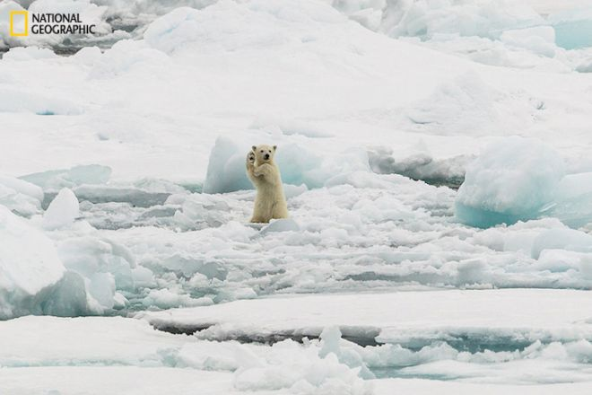 Two Polar bear cubs full of adrenaline on iceflow in Svalbard. The mother was just trying to have a quiet stroll but the cubs were not having any of that.This was the male cub and he just was so entertaining to watch. National Geographic Photo Contest 2014PERMITTED USE: This image may be downloaded or is otherwise provided at no charge for one-time use for coverage or promotion of the National Geographic 2014 Photo Contest and exclusively in conjunction thereof.  No copying, distribution or archiving permitted.  Sublicensing, sale or resale is prohibited.REQUIRED CREDIT AND CAPTION: All image uses must be properly credited to the relevant photographer, as shown in this metadata, and must be accompanied by a caption, which makes reference to the National Geographic 2014 Photo Contest.  Any uses in which the image appears without proper photographer credit and a caption referencing National Geographic Your Shot are subject to paid licensing.About the contest: http://photography.nationalgeographic.com/photography/photo-contest/2014/Mandatory usage requirements - please use up to a maximum of ten (10) photos from the selection below:1.  Must include a prominent mention of the