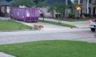 Τίγρης περιπλανιέται στους δρόμους του Τέξας