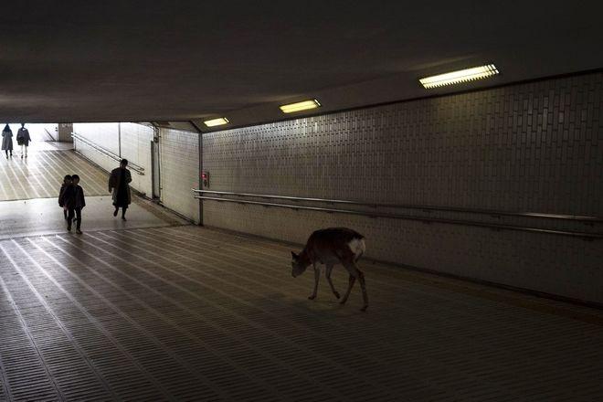 Ελάφι σε υπόγεια διάβαση της Ιαπωνίας ψάχνει για φαγητό.