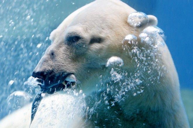 Η πολική αρκούδα το 2008