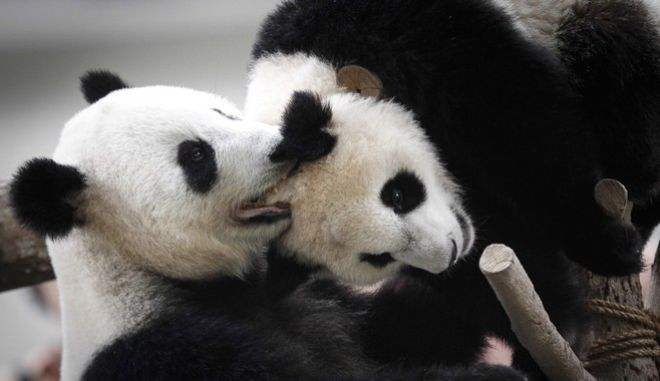 Liang Liang, left, formerly known as Feng Yi, a female giant panda from China, plays with her one year old female cub Nuan Nuan, at the Giant Panda Conservation Center during her 10th birthday celebration at the National Zoo in Kuala Lumpur, Malaysia, Tuesday, Aug. 23, 2016. Two giant pandas have been on loan to Malaysia from China for 10 years since May 21, 2014 to mark the 40th anniversary of the establishment of diplomatic ties between the two nations. (AP Photo/Joshua Paul)