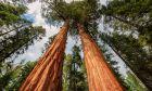 Γιγάντιες Σεκόγιες στην Καλιφόρνια, Σιέρα Νεβάδα