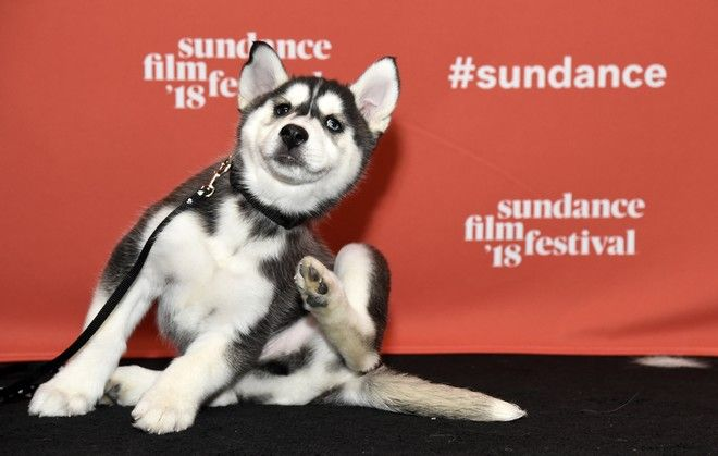 An eight-week-old Siberian Husky poses for photographers at the premiere of the animated film