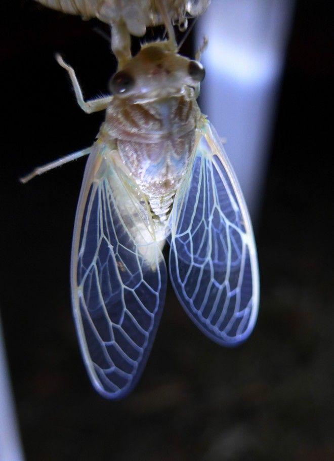 Ένα τζιτζίκι βγαίνει μέσα από τη νύμφη σε περιοχή του Πλατανιά Πηλίου. Το θηλυκό γεννάει τα αυγά του το καλοκαίρι μέσα σε τρύπες που κάνει σε μαλακούς βλαστούς από δέντρα. Αυτό γίνεται κατά τον Ιούλιο ή τον Αύγουστο. Από τα αβγά βγαίνουν οι προνύμφες, περίπου κατά το τέλος του καλοκαιριού, οι οποίες κατεβαίνουν από τα δέντρα, κάνουν τρύπες μέσα στο έδαφος, κοντά σε ρίζες για να τρέφονται κι εκεί ζουν για τέσσερα χρόνια (τα είδη που ζουν στην Ελλάδα, σε άλλες χώρες 17 ή 13 χρόνια) μέχρι που να μετατραπούν σε κανονικές νύμφες οι οποίες αφού σκάψουν τούνελ βγαίνουν στο φως. Τότε το κέλυφος μέσα στο οποίο βρίσκονται φουσκώνει και σκάει και βγαίνει το νεαρό τζιτζίκι που ζεί μέχρι το φθινόπωρο. Ο τζίτζικας είναι έντομο της οικογένειας των τετιγιδών. Στην Ευρώπη η οικογένεια αποτελείται από δυο υποοικογένειες με μόνο τρία γένη. Στην Ελλάδα συναντούμε τα είδη Cicada orni, Cicadatra alhageos, Cicadatra atra, Cicadatra hyalina, Cicadatra hyalinata και Lyristes plebeius. (EUROKINISSI/ΘΑΝΑΣΗΣ ΚΑΛΛΙΑΡΑΣ)