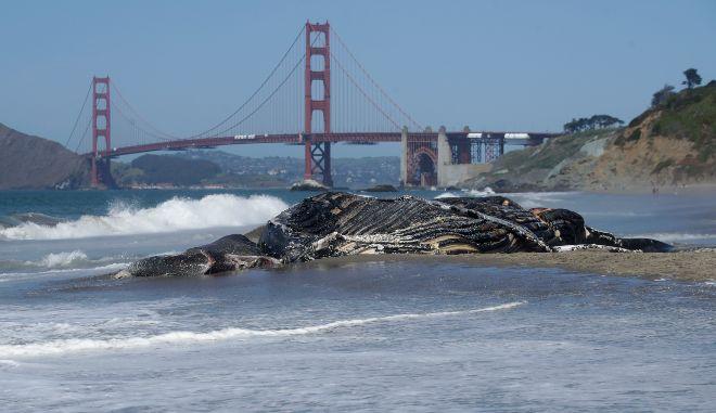 ΗΠΑ: Τέσσερις γκρίζες φάλαινες ξεβράστηκαν νεκρές σε παραλίες του Σαν Φρανσίσκο