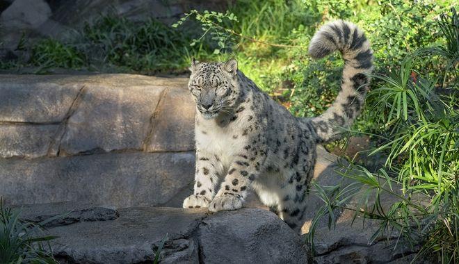 Σαν Ντιέγκο: Λεοπάρδαλη ζωολογικού κήπου προσβλήθηκε από κορονοϊό