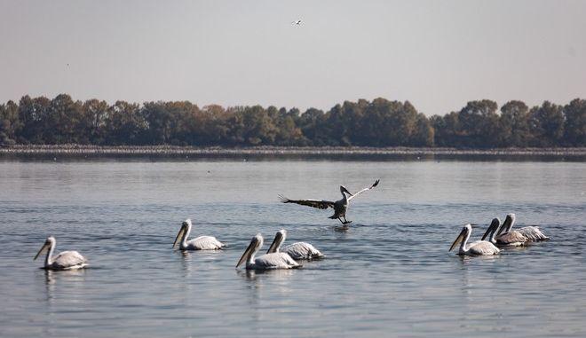 Dalmatian Pelicans on Kerkini lake in Serres, Greece on October 21, 2017. /    , , 21  2017.