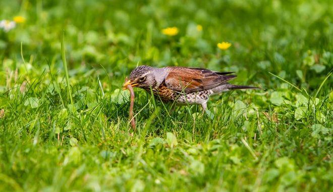 Πουλί κρατά ένα σκουλήκι στο στόμα του (φωτογραφία αρχείου)