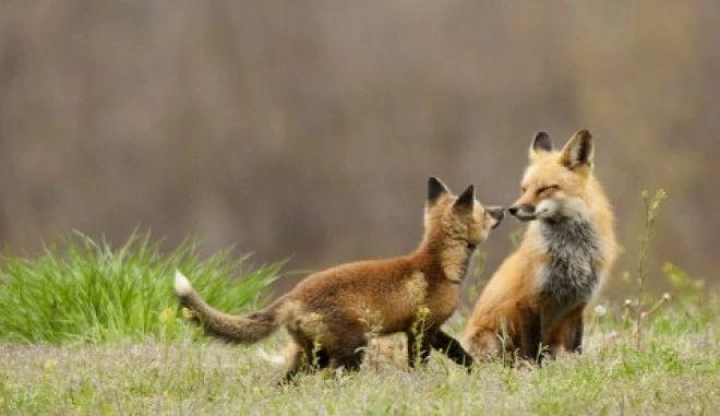 Πήλιο: Αλεπού επιτέθηκε σε 5χρονη