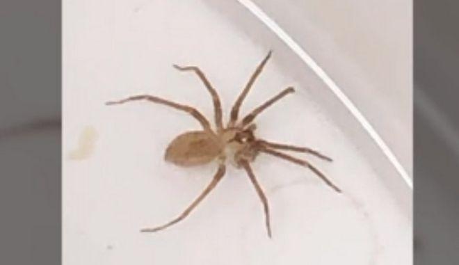 Η αράχνη που βρέθηκε στο αυτί της Susie Torres