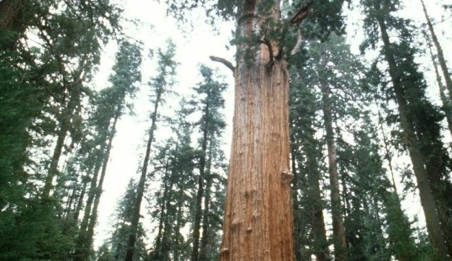 Δέντρα 3.200 ετών στον φωτογραφικό φακό του National Geographic