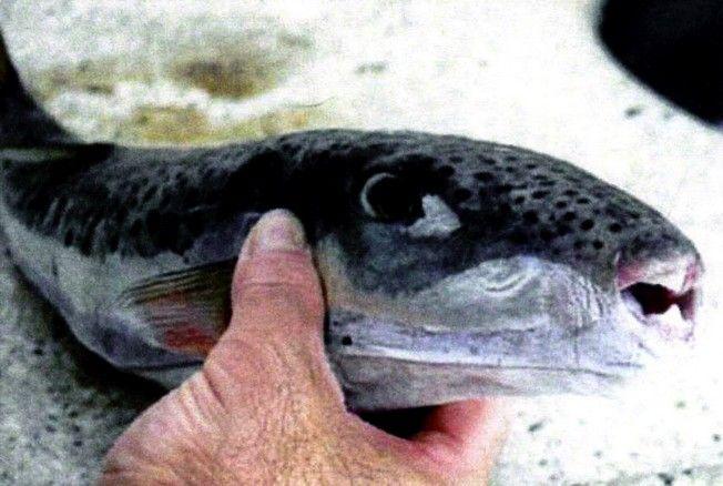 Το επικίνδυνο ψάρι Λαγοκέφαλος που αλιεύθηκε από ψαρά στον Αγιόκαμπο Λάρισας