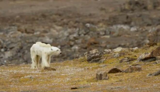 Ο αργός θάνατος μιας πολικής αρκούδας στον καιρό της κλιματικής αλλαγής