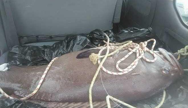 Σίφνος: Ψάρεψε βλάχο 75 κιλών