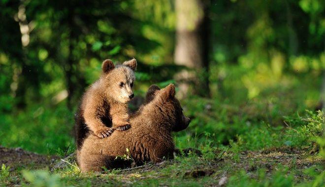 Δυο αρκουδάκια άφησαν άυπνους τους κατοίκους της Καστοριάς