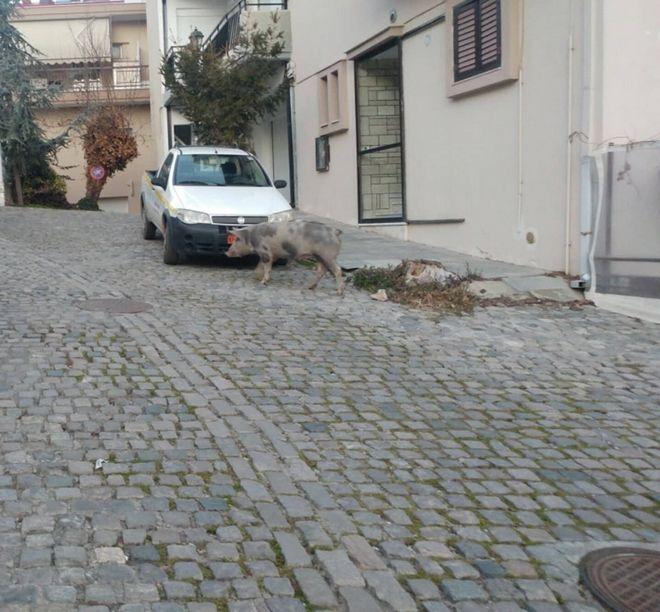 Κοζάνη: Γουρούνι το έσκασε από κτήμα κι