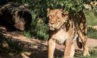Ινδία: Λιονταρίνα πέθανε από κορονοϊό σε ζωολογικό κήπο