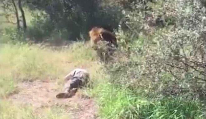 Τρόμος σε ζωολογικό πάρκο στη Ν. Αφρική: Λιοντάρι σέρνει τον ιδιοκτήτη