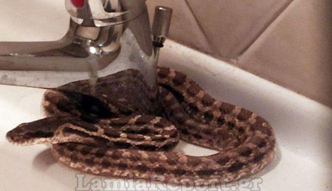 Τρομακτικό: Βρήκε φίδι στο νιπτήρα του σπιτιού του στη Λαμία