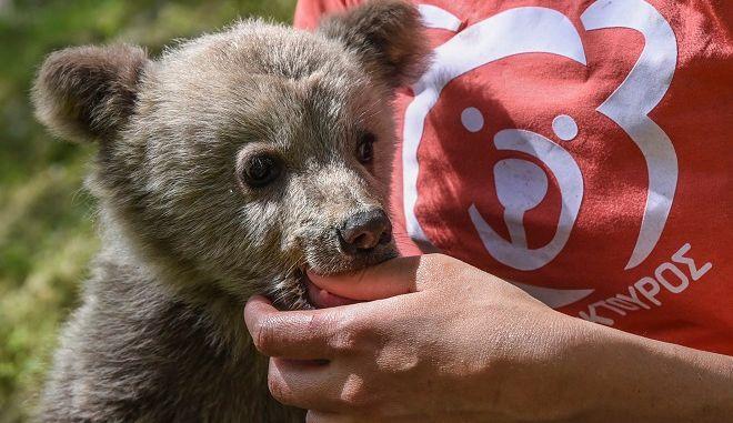 Ένα ορφανό αρκουδάκι, μόλις λίγων μηνών, σώθηκε πριν από λίγες ημέρες χάρη στον ΑΡΚΤΟΥΡΟ.
