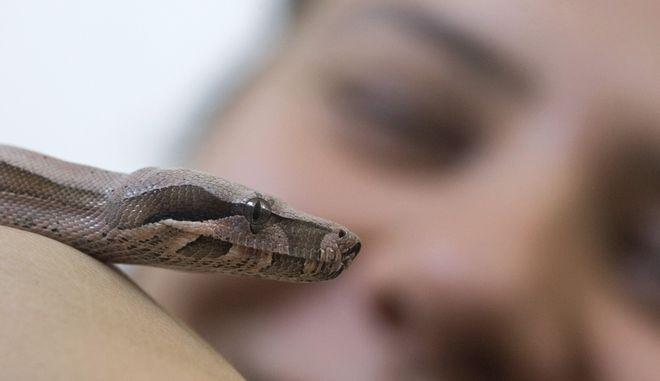 A biologist holds a six-month-old red-tail boa constrictor at the Butantan Institute in Sao Paulo, Monday, Sept. 29, 2008. The Butantan Institute in a biomedical research center specializing in snakes and produces antivenin to save people from snake bites. Antitoxins against spider and scorpion bites are also produced at the institute. (AP Photo/Andre Penner)
