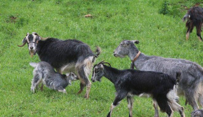 Κατσίκες σε βοσκή (EUROKINISSI-ΒΑΣΙΛΗΣ ΠΑΠΑΔΟΠΟΥΛΟΣ)