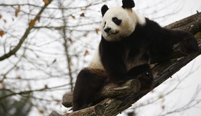 Panda Yuan Zi, father of the new panda born Yuan Meng is pictured at the zoo, in Saint-Aignan-sur-Cher, France, Monday, Dec. 4, 2017. (AP Photo/Thibault Camus)