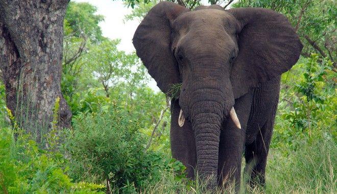 Ελέφαντας στο εθνικό πάρκο Κρούγκερ στη Νότια Αφρική