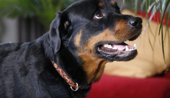 Rottweiler. Φωτογραφία αρχείου.
