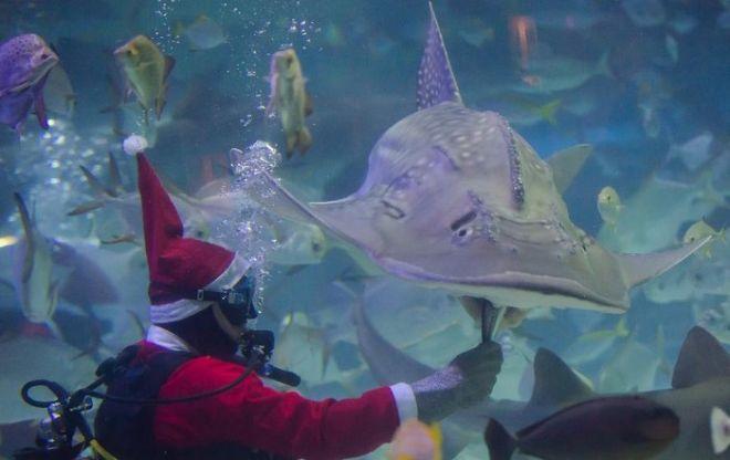 Άη Βασίλης κολυμπά και παίζει με καρχαρίες σε ενυδρείο