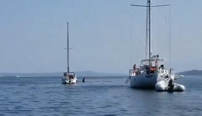 Φάλαινα όρκα κλέβει ένα σκάφος