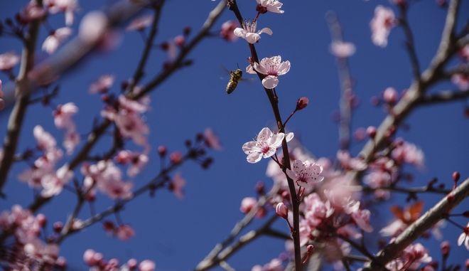 Μέλισσα πετάει ανάμεσα στα ανθισμένα άνθη μιας αμυγδαλιάς για να συλλέξει γύρη, στην πόλη της Πρέβεζας. (EUROKINISSI/ΓΙΩΡΓΟΣ ΕΥΣΤΑΘΙΟΥ)