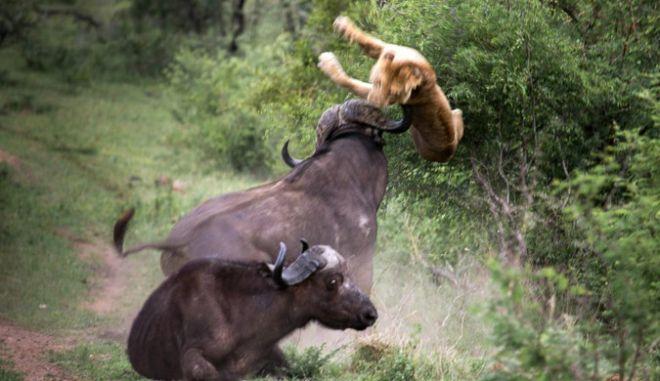 Βίντεο: Βουβάλια σώζουν φίλο τους, από επίθεση νεαρών λιονταριών