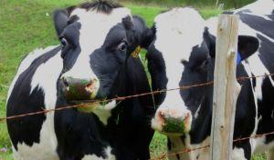 Γιατί η αγελάδα θα γίνει το μεγαλύτερο ζώο στη Γη