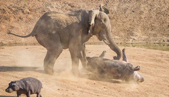 Άγρια μάχη ελέφαντα με μητέρα ιπποπόταμο