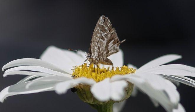 Μια πεταλούδα ρουφά νέκταρ από ανθό μαργαρίτας στην πόλη των Τρικάλων