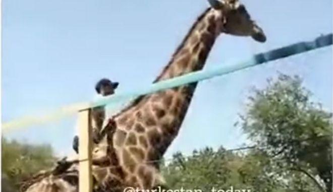 """Βίντεο: Μεθυσμένος """"ιππεύει"""" καμηλοπάρδαλη και τρώει τα μούτρα του"""