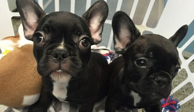 This photo provided by Gwinnett County Police Department shows two French bulldog puppies. Metro Atlanta police say they've recovered the two puppies stolen from the owner when she met with a person she thought was a prospective buyer.   Investigators say they identified 18-year-old Ronald Junior Camenish as the suspect. Officers got a search warrant found the puppies unharmed in his basement and returned them to their owner.  (Gwinnett County Police Department via AP)