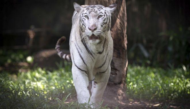 Οι τίγρεις... το ΄σκασαν : Τρόμος στη Γερμανία