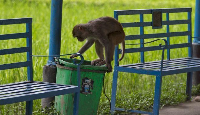 Μαϊμού (ΦΩΤΟ Αρχείου)